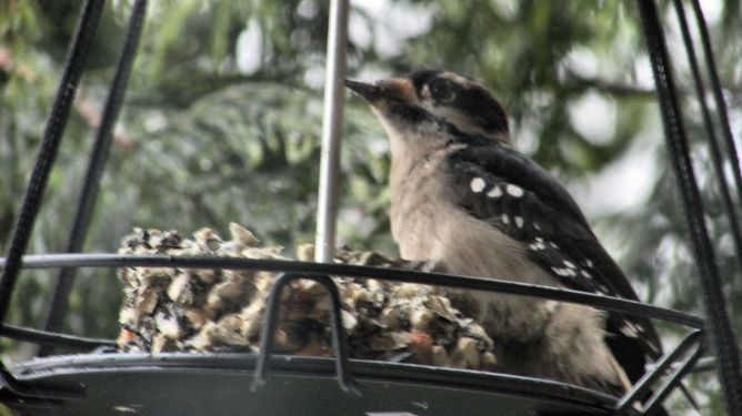 downy-woodpecker_0524