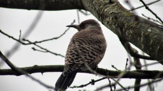 northern-flicker_watermarked_0598