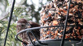song-sparrow_0791
