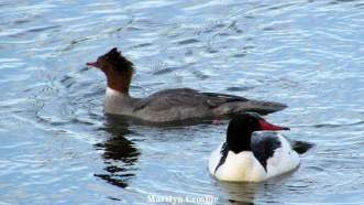 male and female common mergansers_1525