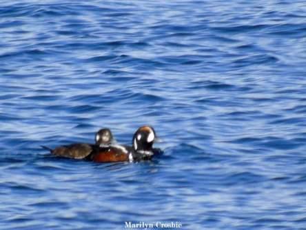 Harlequin duck couple