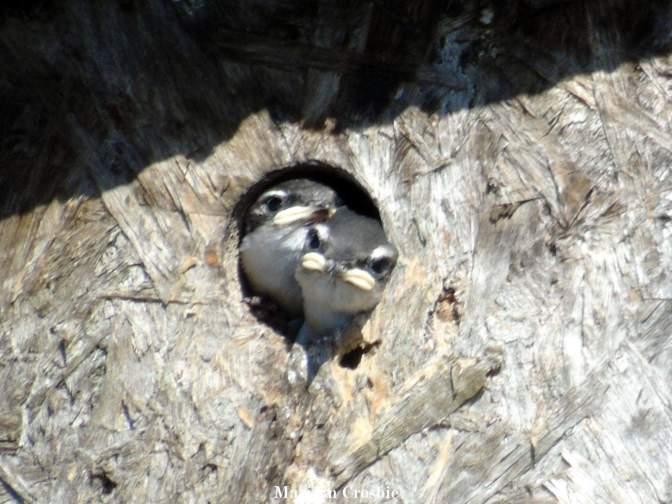 Baby swallow siblings_0539