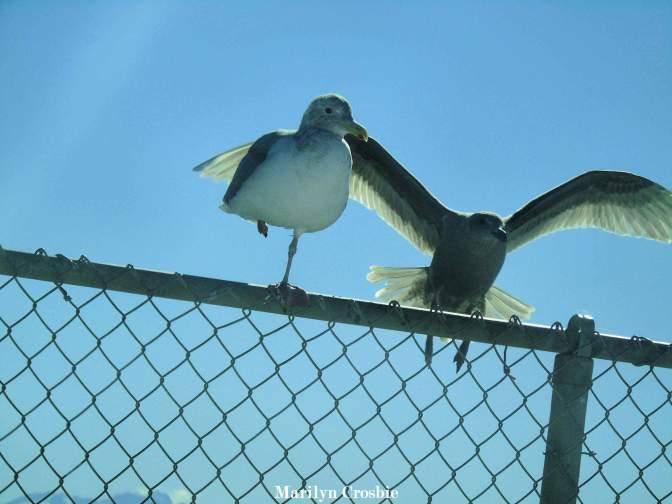 glaucous gulls_00936